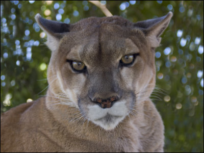 ponderosa cougar women The strange one while hunting cougar, joe and hoss find a young woman unconscious and bring her to the ponderosa the girl was abandoned in the .