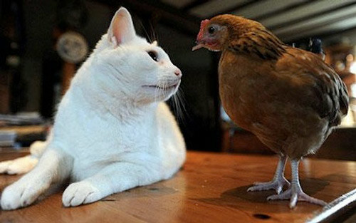 Chicken and cats