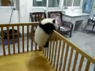 パンダの赤ちゃんが不屈の精神で脱走しようとあがきまくるムービー