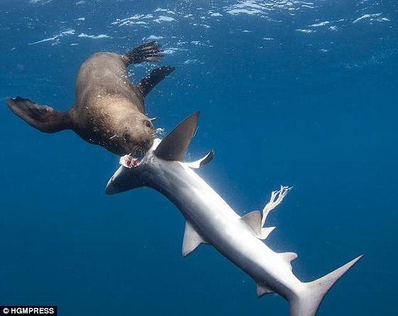 ヨシキリザメはオットセイよりも大きく成長するサメであり、小型の硬骨魚類や... オットセイがサメ