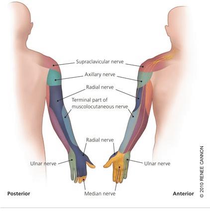 神経 麻痺 腋窩 腋窩神経麻痺の症状~原因~治療~リハビリ全知識