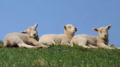 クローン羊ドリーのクローン姉妹たちは寿命が短くなっていないことが判明