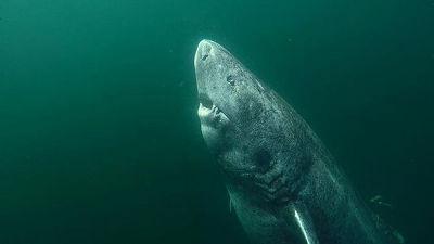 2016年に発見されていた「最古の脊椎動物」とされるサメの年齢が500歳以上である可能性が浮上
