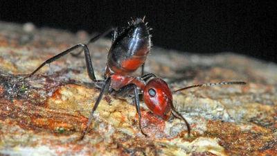 「外敵の襲来に対して体を爆発させるアリ」の新種が東南アジアで発見される