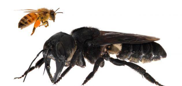 30年以上目撃されていなかった世界最大のハチが探検隊によって再発見される