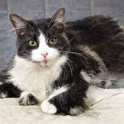 この世に存在しない 架空の猫 の写真を自動生成しまくれる This Cat Does Not Exist Gigazine
