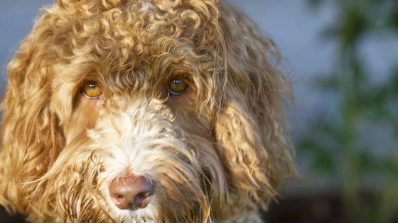犬種ラブラドゥードルの生みの親が 怪物を作り出してしまった と後悔