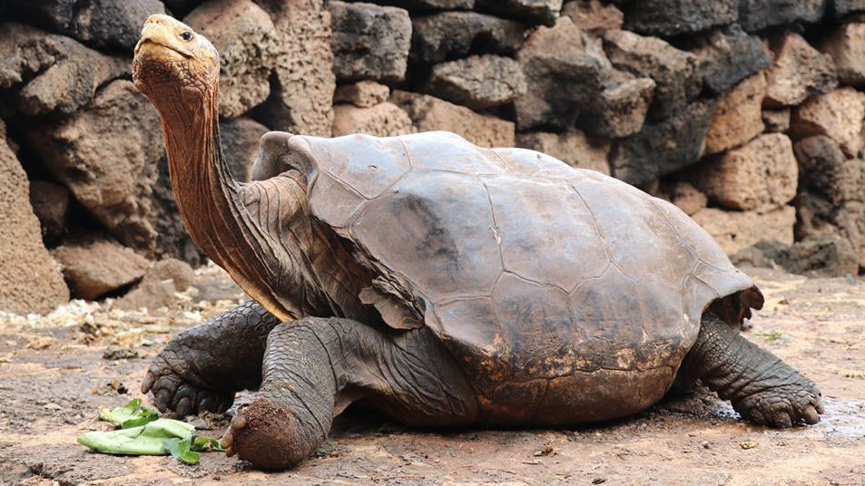 "Photo of Unmatched turtle "" Diego '' who stopped mating and stopped species extinction with one animal to retire active"