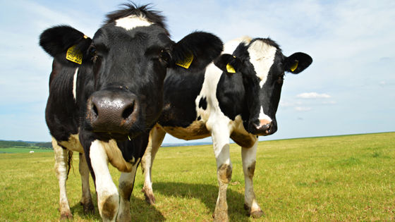 """Photo of What is the secret hidden in the cow's """"mo-mo"""" cry?"""